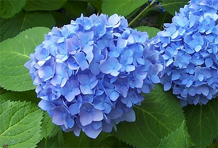 """What Makes The Hydrangeas So Blue?"""